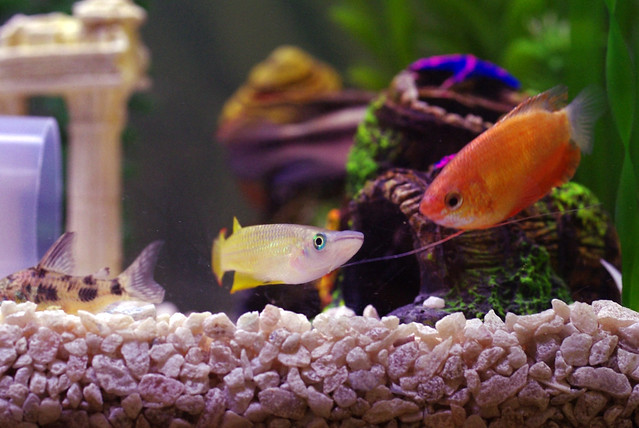 Honey Gourami 3