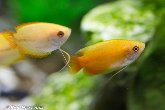 Honey Gourami 4