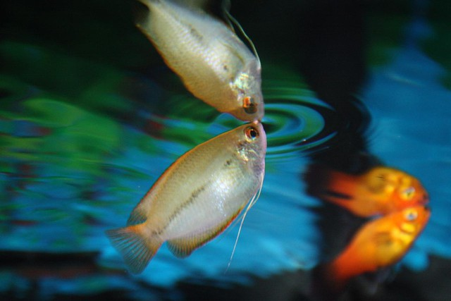 Honey Gourami 5