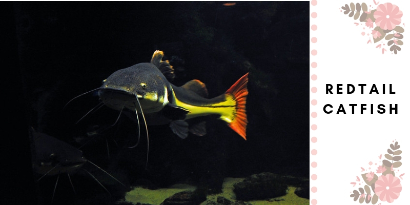 How To Raise The Redtail Catfish - The Goliath Of The Aquarium
