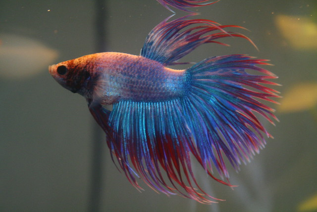 Crowntail Betta1