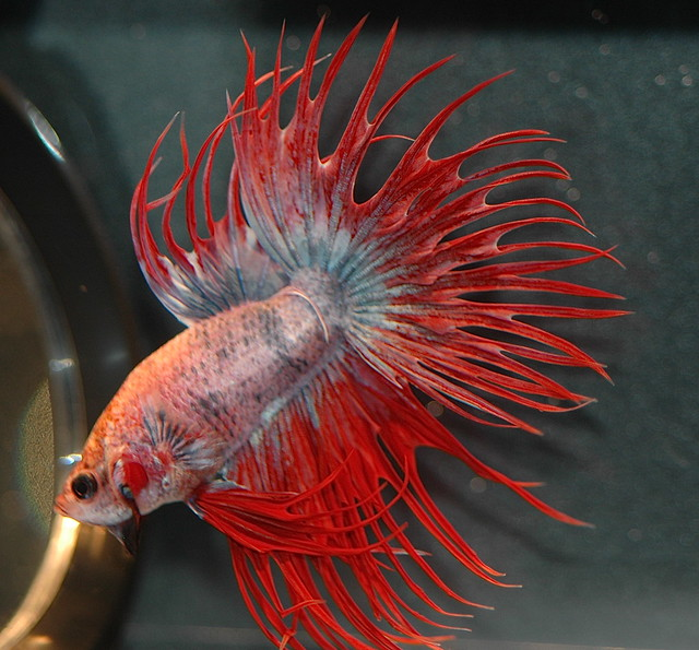 Crowntail Betta2