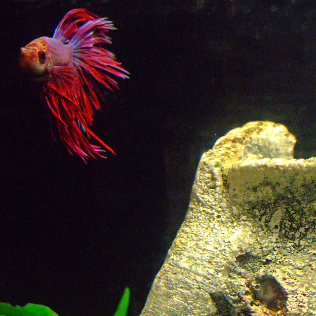 Crowntail Betta5