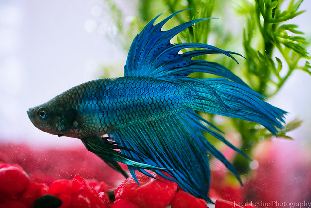 Crowntail Betta7