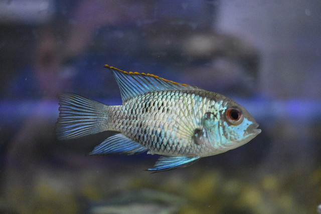 Electric Blue Acara 1