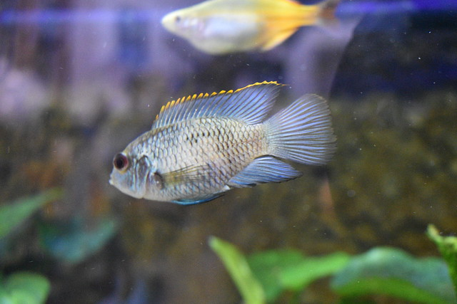 Electric Blue Acara 2