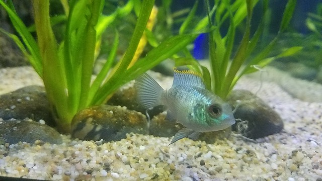 Electric Blue Acara 3