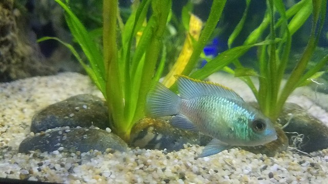Electric Blue Acara 4