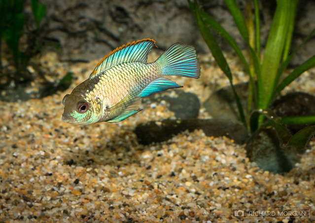 Electric Blue Acara 5