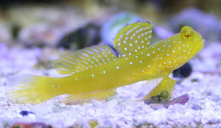 Yellow Prawn Watchman Goby