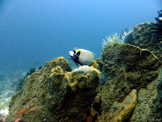 Emperor Angelfish 3