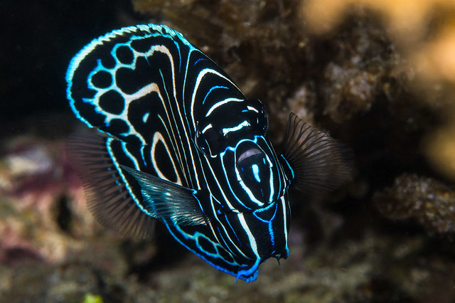 Emperor Angelfish 6