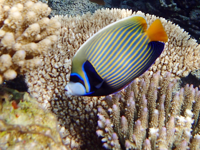 Emperor Angelfish 7