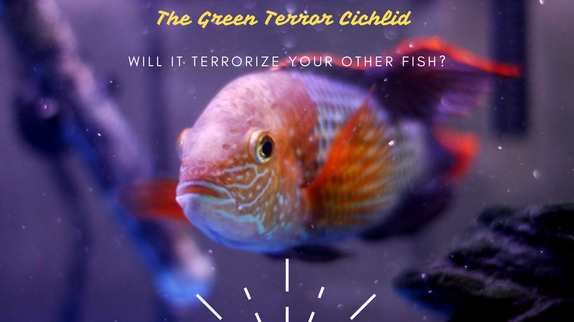 The Green Terror Cichlid - Will It Terrorize Your Other Fish?