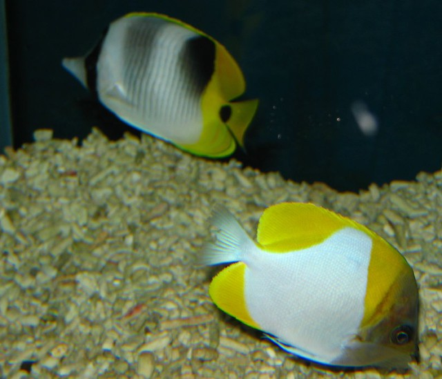 Sickle Butterflyfish