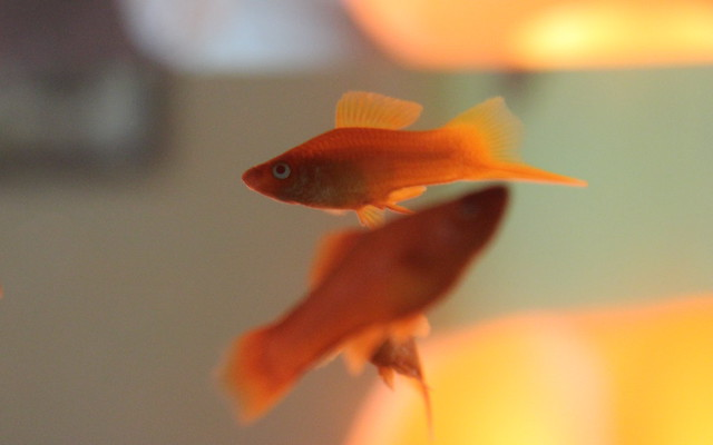 Swordtail Fish 1