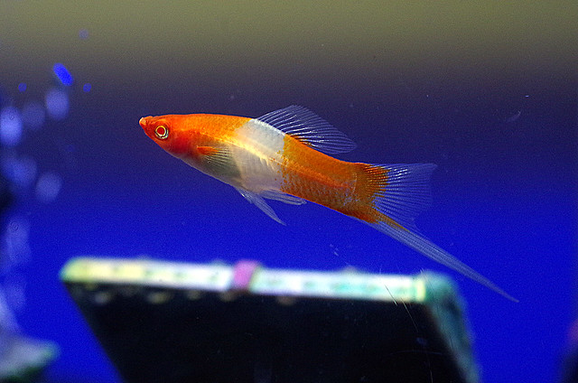 Swordtail Fish 3