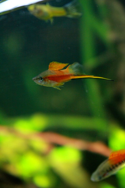 Swordtail Fish 4