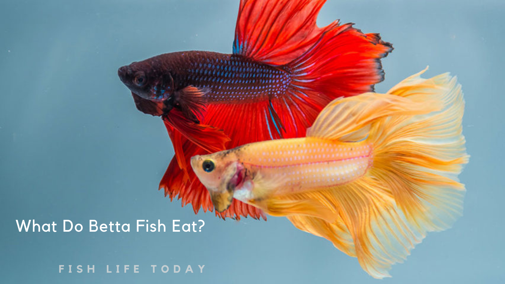A Complete Guide To What Do Betta Fish Eat Fish Life Today