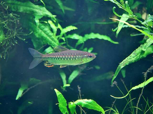 African Red-Eyed Tetra