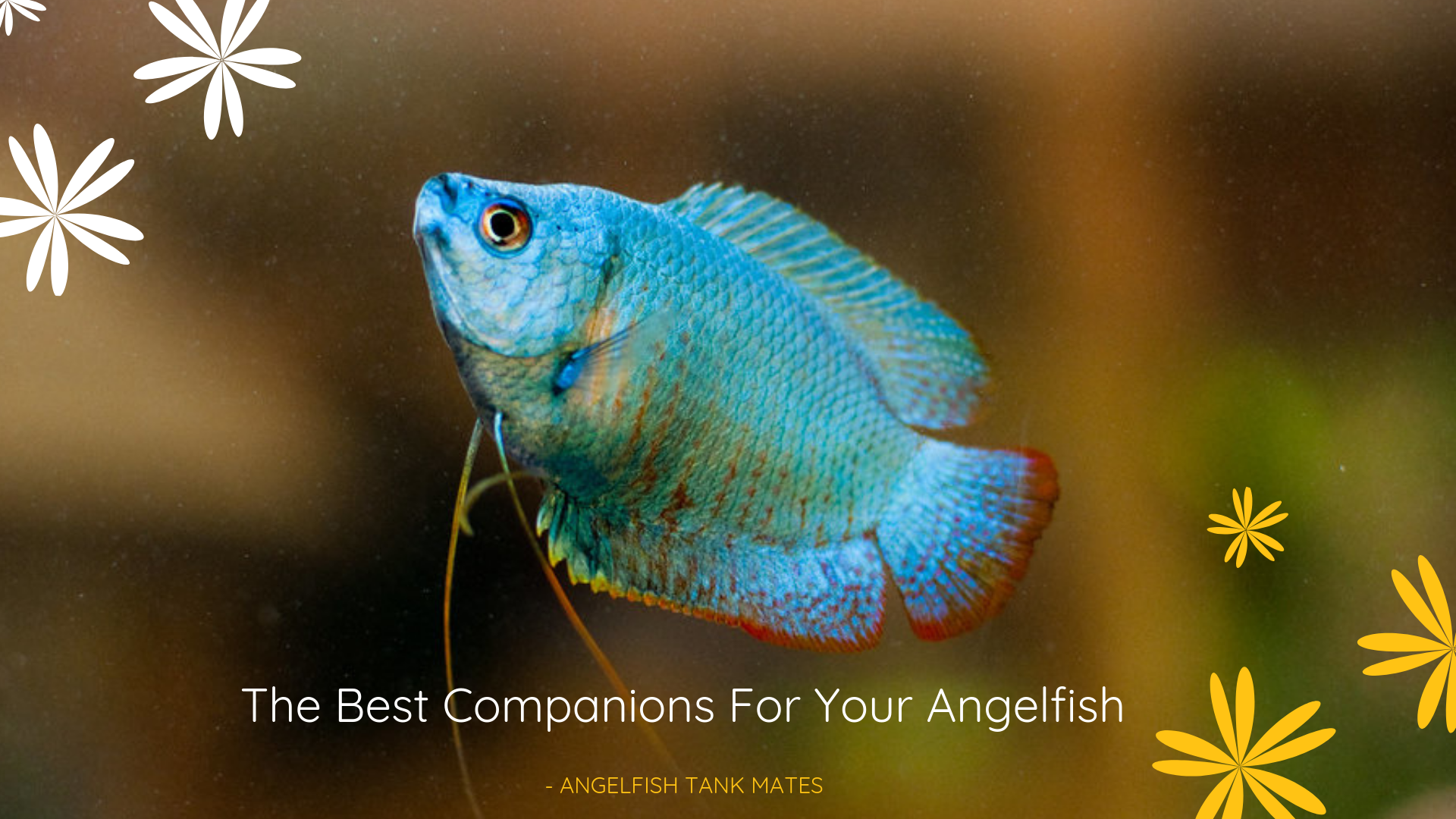 The Best Companions For Your Angelfish Angelfish Tank Mates
