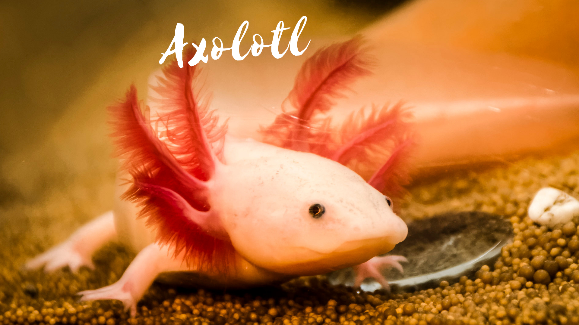 How To Raise The Axolotl, The Bizarre Mexican Walking Fish