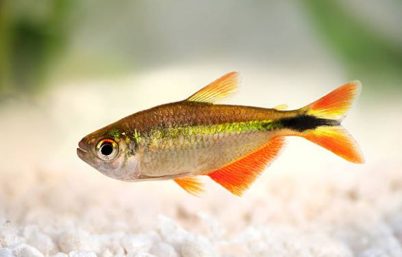 The Best Types Of Tetras For Beginners - Fish Life Today