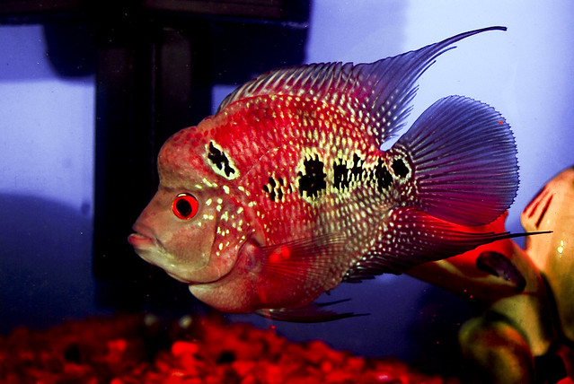 How To Raise The Bigheaded Flowerhorn Cichlid - Fish Life Today