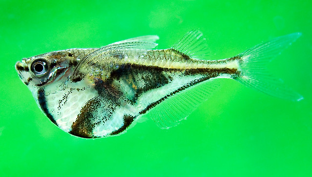 Marbled Hatchetfish