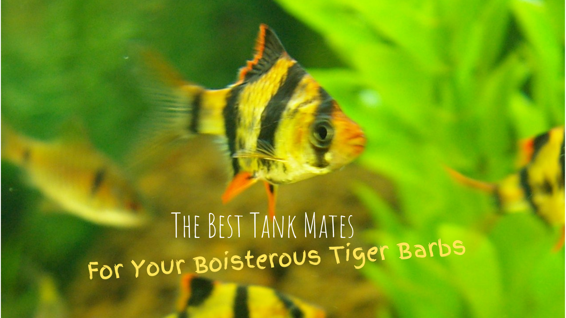 Tiger Barbs