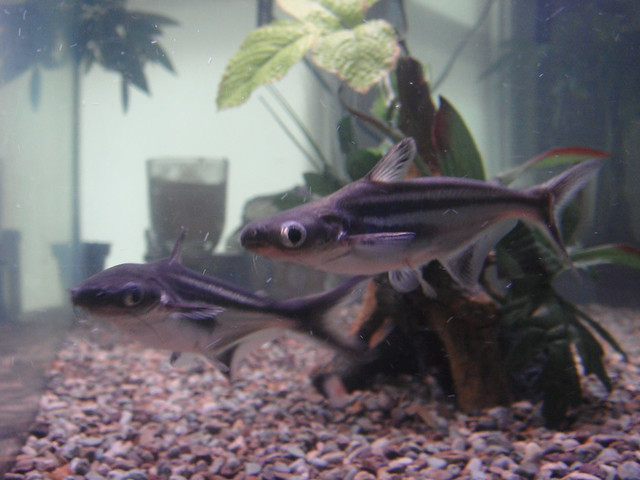 Iridescent Shark Catfish